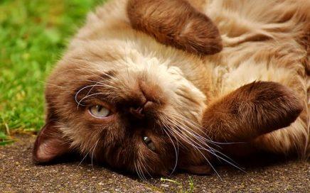 Hoe werkt gedragstherapie voor katten